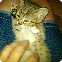 Adopt A Pet :: Olivia - Sterling Hgts, MI