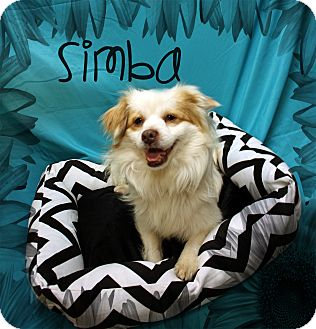 Terrier (Unknown Type, Small) Mix Dog for adoption in Ogden, Utah - Simba