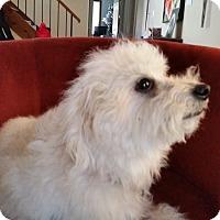 Adopt A Pet :: Sherman - Mount Kisco, NY