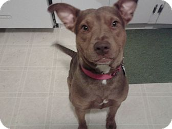 American Pit Bull Terrier Mix Dog for adoption in Newport, Michigan - Hope