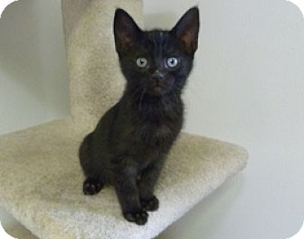 Domestic Shorthair Kitten for adoption in Lathrop, California - Cricket