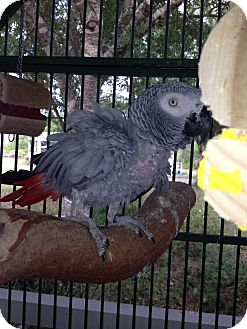 African Grey for adoption in Punta Gorda, Florida - Phineas & Pheobe