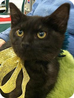 Domestic Mediumhair Kitten for adoption in Wilmore, Kentucky - Mystic