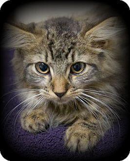 Domestic Longhair Kitten for adoption in Montclair, New Jersey - Albus