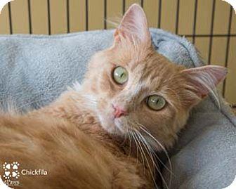 Domestic Shorthair Cat for adoption in Merrifield, Virginia - Chikfila
