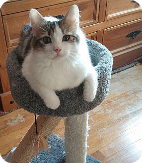 Turkish Angora Cat for adoption in Levittown, New York - Safyre
