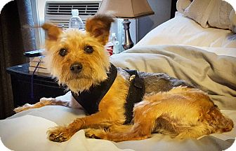 Silky Terrier/Poodle (Miniature) Mix Dog for adoption in Acushnet, Massachusetts - Oz