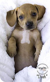 Basset Hound/Beagle Mix Puppy for adoption in Virginia Beach, Virginia - Dash