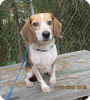 Beagle Dog for adoption in Warrenton, North Carolina - Dixie