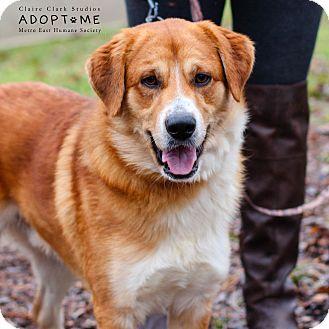Labrador Retriever/Collie Mix Dog for adoption in Edwardsville, Illinois - Lou
