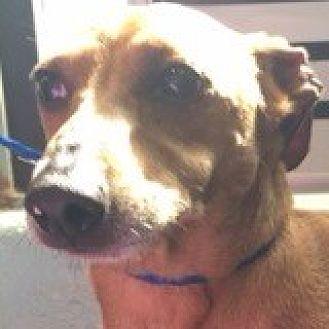 Dachshund Dog for adoption in Houston, Texas - Oscar Oratek