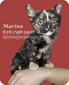 Domestic Shorthair Kitten for adoption in Monrovia, California - Adopt: MARINA