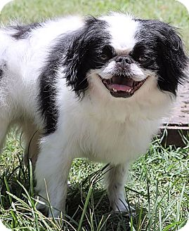 Japanese Chin Dog for adoption in Morehead City, North Carolina - Chauncer