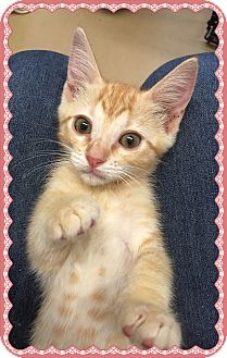 Domestic Shorthair Kitten for adoption in Olympia, Washington - Tinkerbell