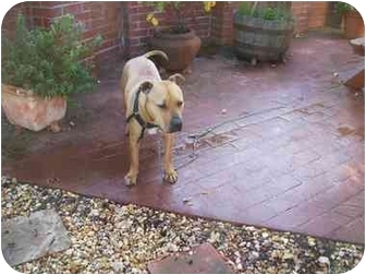 Pit Bull Terrier Mix Puppy for adoption in Bakersfield, California - Tiny