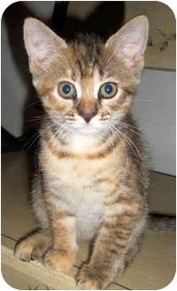 Domestic Shorthair Kitten for adoption in Colmar, Pennsylvania - Belita