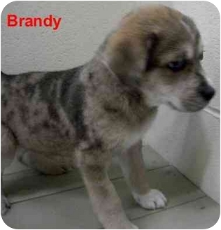 Catahoula Leopard Dog/Basset Hound Mix Puppy for adoption in Slidell, Louisiana - Brandy