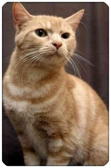 Domestic Shorthair Cat for adoption in Sterling Heights, Michigan - Amber - ADOPTED!