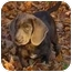 Photo 1 - Weimaraner/Basset Hound Mix Puppy for adoption in Lombard, Illinois - Max