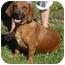 Photo 2 - Basset Hound/Dachshund Mix Dog for adoption in Proctorville, Ohio, Ohio - Sophia