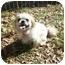 Photo 1 - Pekingese/Shih Tzu Mix Dog for adoption in Harvard, Massachusetts - Holly - 10 pounds!