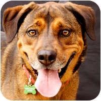 Shepherd (Unknown Type)/Rhodesian Ridgeback Mix Dog for adoption in Denver, Colorado - Prince Kingston