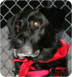 Labrador Retriever/Retriever (Unknown Type) Mix Dog for adoption in Berea, Ohio - Toby