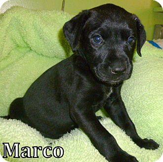 Labrador Retriever Mix Puppy for adoption in Georgetown, South Carolina - Marco