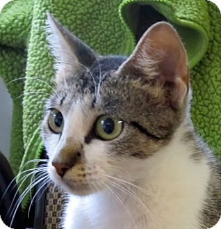 Domestic Shorthair Cat for adoption in Marseilles, Illinois - Lolo