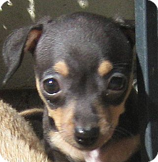Dachshund/Terrier (Unknown Type, Small) Mix Puppy for adoption in Oakley, California - Baby McKayla