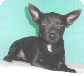 Chihuahua Dog for adoption in Orlando, Florida - Bear