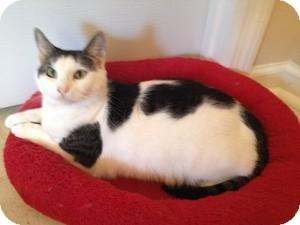 Domestic Shorthair Cat for adoption in Jacksonville, North Carolina - Ella