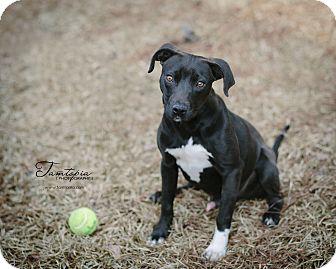 Feist Mix Puppy for adoption in Pinehurst, North Carolina - Fudge