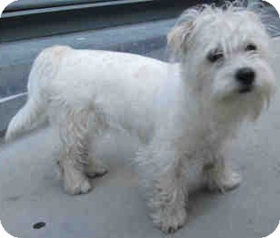Westie, West Highland White Terrier/Schnauzer (Miniature) Mix Dog for adoption in Encino, California - Scooter