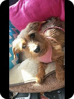 Dachshund/Terrier (Unknown Type, Small) Mix Dog for adoption in Albemarle, North Carolina - Carlie