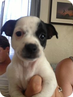 Rat Terrier/Chihuahua Mix Puppy for adoption in Phoenix, Arizona - Lucy