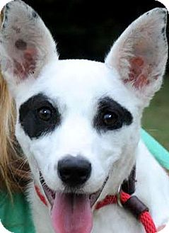 Jack Russell Terrier/Australian Cattle Dog Mix Puppy for adoption in Wakefield, Rhode Island - MISS PATCHES(ADORABLE PUPPY!!)