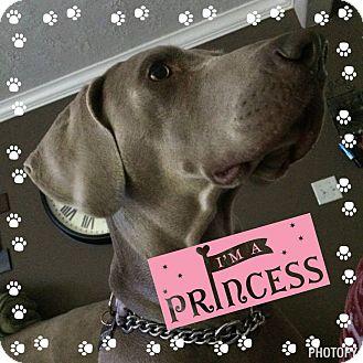 Weimaraner Dog for adoption in Vidor, Texas - Sasha
