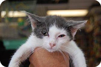 Domestic Shorthair Kitten for adoption in Brooklyn, New York - Setter