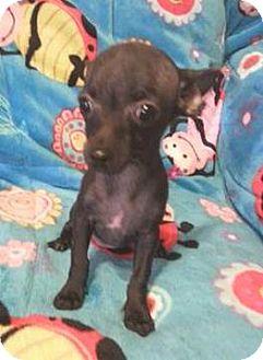 Chihuahua Puppy for adoption in Studio City, California - Miga
