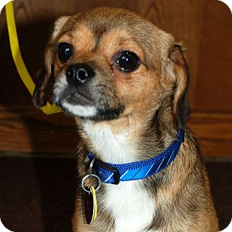 Pug/Beagle Mix Dog for adoption in Hayden, Idaho - Earl