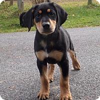 Adopt A Pet :: Puppy - Rigaud, QC