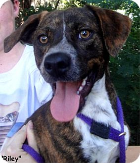 Beagle Mix Dog for adoption in Key Largo, Florida - Riley