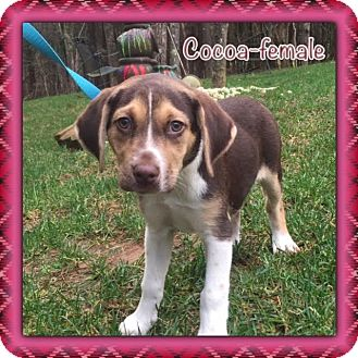 Beagle Mix Puppy for adoption in Hagerstown, Maryland - Cocoa
