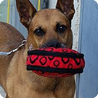 Pointer/Pharaoh Hound Mix Dog for adoption in Grayslake, Illinois - Katie