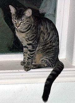 Domestic Shorthair Cat for adoption in Alvin, Texas - Cutie Pie
