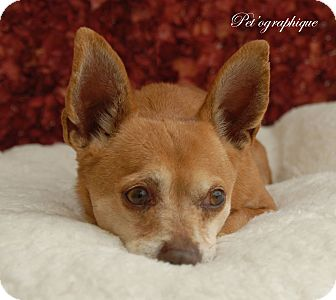 Chihuahua Mix Dog for adoption in Las Vegas, Nevada - Paco