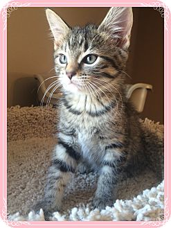 Domestic Shorthair Kitten for adoption in Mt. Prospect, Illinois - Hebony