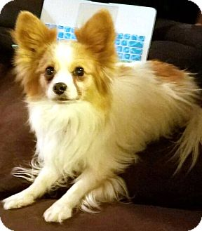 Papillon Mix Dog for adoption in Tijeras, New Mexico - Cricket
