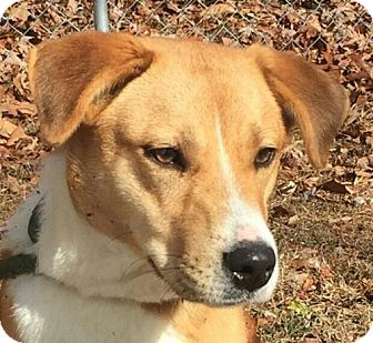 Collie Mix Puppy for adoption in Washington, D.C. - Ally